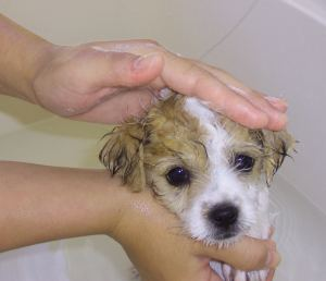 What Age Can You Bathe A Puppy With Dog Shampoo