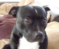 Staffordshire Terrier Dog Photo